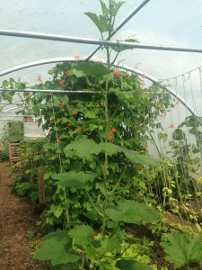 Incredibly productive polytunnel at Let's Grow in Knowle West