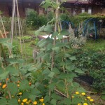 One of the allotment type gardens